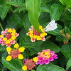 A moth lands in the Carthage Public Library gardens on Thursday.<br /> Globe | Roger Nomer