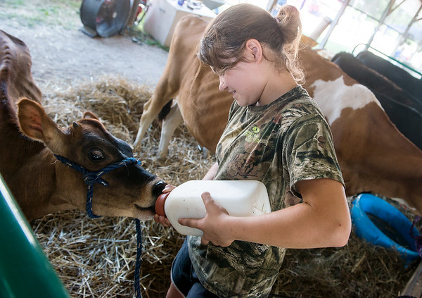 Kylia Wagner, 13, Sarcoxie, feeds her calf Kayla on Wednesday at the Jasper County Youth Fair.<br /> Globe | Roger Nomer