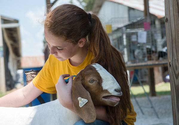 Dorothy Smith, 13, Fairview, holds her goat Bud as she trims him on Wednesday at the Newton County Fair.<br /> Globe | Roger Nomer