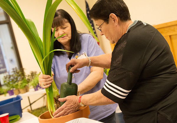 Kathy Crownover, left, Miami, and Linda Highley, Bluejacket, demonstrate repotting an Amarillis plant on Saturday during the Joplin Seed and Plant Exchange meeting at the Galena Community Building.<br /> Globe | Roger Nomer