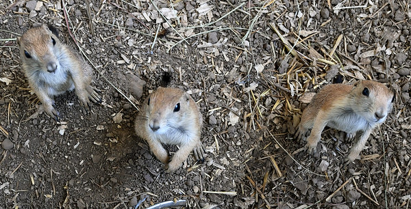 Three prairie dogs peer up at the camera from their home at the Steal Your Hearts Exotics & Petting Zoo last week south of Joplin.<br /> Globe   Laurie SIsk