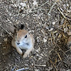 Three prairie dogs peer up at the camera from their home at the Steal Your Hearts Exotics & Petting Zoo last week south of Joplin.<br /> Globe | Laurie SIsk