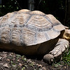 """Bonnie,"" a 15 to 20-year-old Sulcata tortoise, roams around her yard at the Steal Your Hearts Exotics & Petting Zoo last week south of Joplin. At two feet long, ""Bonnie,"" who is 15 to 20-years old can live to be as old as 100 and may grow to six feet in length.<br /> Globe 