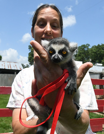 """Tonya Carrillo holds """"Ringo,"""" a four-week old ring tailed lemur at the Steal Your Hearts Exotics & Petting Zoo last week south of Joplin.<br /> Globe 