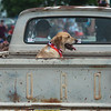 Remmie catches a ride in the back of Ford truck along the Fourth of July parade route in Carl Junction on Thursday.<br /> Globe | Roger Nomer