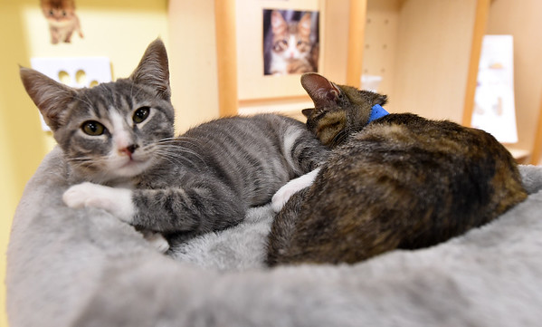 """From the left: """"Lily"""" and """"Fine"""" take a break from the activity as they nestle in a cat tree at the Tiny Tigers Lounge and Adoption Center in Northpark Mall on Saturday. The cat lounge will remain open an additional weekend untill Sunday, August 4 at the mall. Hours are Friday & Saturday noon to 7pm and Sunday noon to 6pm.<br /> Globe 