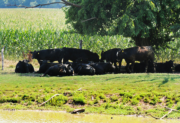 Globe/T. Rob Brown Cattle at a farm off 171 Highway in Kansas, just east of Pittsburg and near Opolis, attempt to take refuge from the heat in what little shade they can find, even if provided by a partially dead tree Tuesday afternoon, June 26, 2012, during the peak heat of the day.