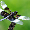 Globe/T. Rob Brown<br /> A variety of dragonfly, commonly called a widow skimmer, sits on a stick, intended to hold a fishing pole, seeming to watch the many children during the annual Kids Fishing Day Saturday morning, June 9, 2012, at Kellogg Lake in Carthage.