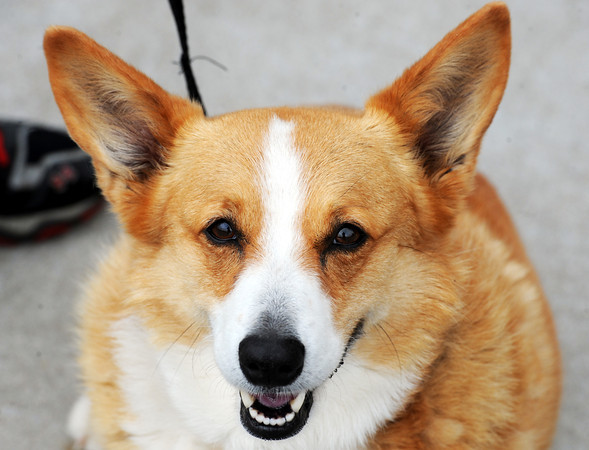 Globe/T. Rob Brown<br /> Sydney, a Pembroke Welsh corgi, of Reeds, patiently waits for her name to be called for vaccination outside the Animal Adoption & Resource Center.