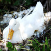 Globe/T. Rob Brown<br /> A female duck warms her eggs and nest as she avoids the many children during the annual Kids Fishing Day Saturday morning, June 9, 2012, at Kellogg Lake in Carthage.