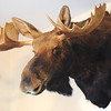 Globe/T. Rob Brown<br /> A taxidermied moose taken in Canada by bow huntress Jane Mitchell of Carl Junction hangs on her living room wall Wednesday afternoon, June 12, 2013.