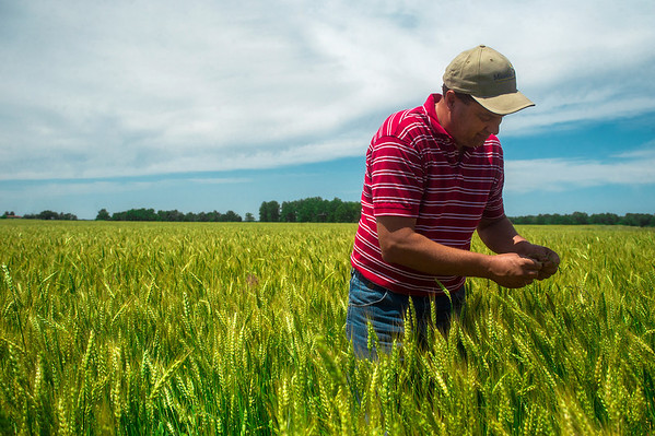 Globe/Roger Nomer<br /> Kyle Kirby checks the progress of his wheat field outside Liberal on Monday afternoon.