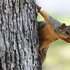 Globe/T. Rob Brown<br /> A squirrel hangs onto the side of a tree as it watches carts of golfers drive by at Briarbrook Country Club Tuesday morning, June 18, 2013, near the 18th hole.