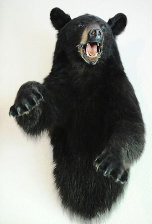 Globe/T. Rob Brown<br /> A taxidermied black bear taken by bow huntress Jane Mitchell of Carl Junction hangs on her living room wall Wednesday afternoon, June 12, 2013.