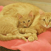 Globe/Roger Nomer<br /> Cats await adoption at the Joplin Humane Society on Monday.