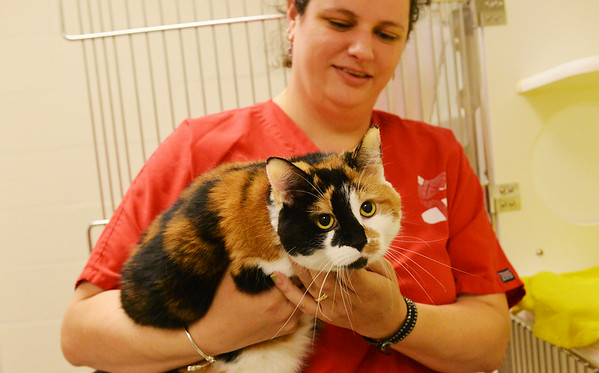 Globe/Roger Nomer<br /> Alice Waters, senior kennel tech at the Joplin Humane Society, plays with a cat named Lasagna at the shelter on Monday.