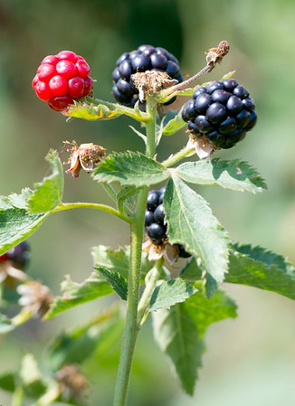Blackberries begin to ripen at Ray's Farm to Market, LLC on Saturday near Mount Vernon.<br /> Globe | Laurie Sisk