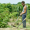 Austin Patterson, 17, grandson of Ray's Farm to Market, LLC owner Jessie Cox, cuts weeds near blackberry plants on Saturday near Mount Vernon.<br /> Globe | Laurie Sisk