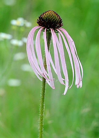 A Pale Purple Corflower blows in the breeze during the Missouri Prairie Foundation's BioBlitz on Saturday at Linden's Prairie near Mount Vernon.<br /> Globe | Laurie Sisk
