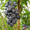 Blueberries ready for picking hang from a plant on Friday at the Robertson Family Farm on Saginaw road on Friday. Saturday marks opening day for berry pickers at the farm.<br /> Globe | Laurie Sisk
