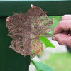 Globe/Roger Nomer<br /> A Sycamore leaf shows signs of Japanese beetle damage.