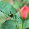 Globe/Roger Nomer<br /> A Japanese beetle rests on a rose bush on Wednesday.