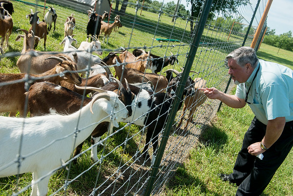 Globe/Roger Nomer<br /> Gilbert Johnston, horticulture manager, checks in on goats a pen near Downstream Casino on June 2.
