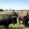 Globe/Roger Nomer<br /> Buffalo from the Quapaw Tribe's herd graze near Downstream Casino on June 2.