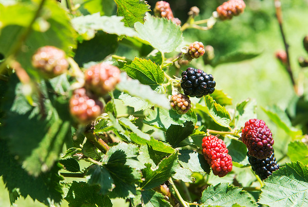 Globe/Roger Nomer<br /> Blackberries ripen at Ray's Farm to Market in Mt. Vernon.