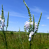 Snapdragons reach skyward on Wednesday at Diamond Grove Praire.<br /> Globe | Laurie Sisk