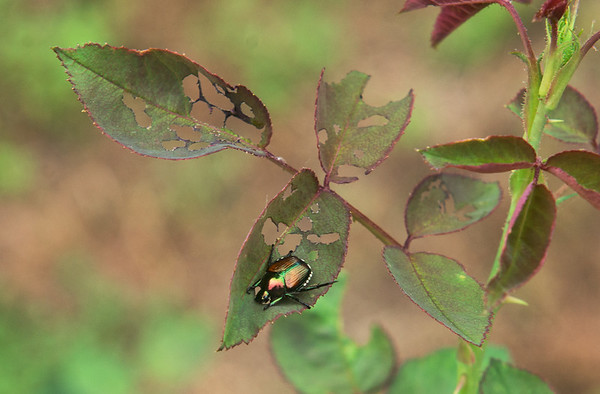 Globe/Roger Nomer<br /> A Japanese beetle eats a leaf on a rose bush on Wednesday morning in Joplin.