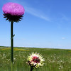 Thistles reach skyward on Wednesday at Diamond Grove Praire.<br /> Globe | Laurie Sisk