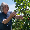 Globe/Roger Nomer<br /> Jessie Cox looks over blackberries at Ray's Farm to Market on Thursday in Mt. Vernon.