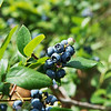Blueberries at the Robertson Family Farms<br /> Globe | Roger Nomer