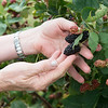 Blackberries ripen at Ray's Farm to Market on Thursday in Mt. Vernon.<br /> Globe | Roger Nomer