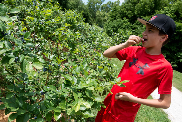 Connor Provenzano, 14, samples blueberries at the Robertson Family Farms on Monday.<br /> Globe | Roger Nomer