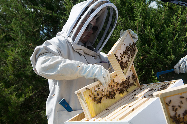 Mary Kilmer, assistant professor of biology and environmental health at Missouri Southern, works with a hive on Tuesday at MSSU.<br /> Globe | Roger Nomer