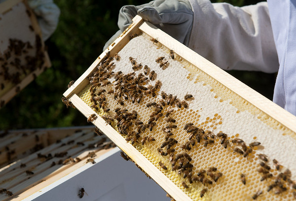 Bees gather at a hive at Missouri Southern on Tuesday.<br /> Globe | Roger Nomer
