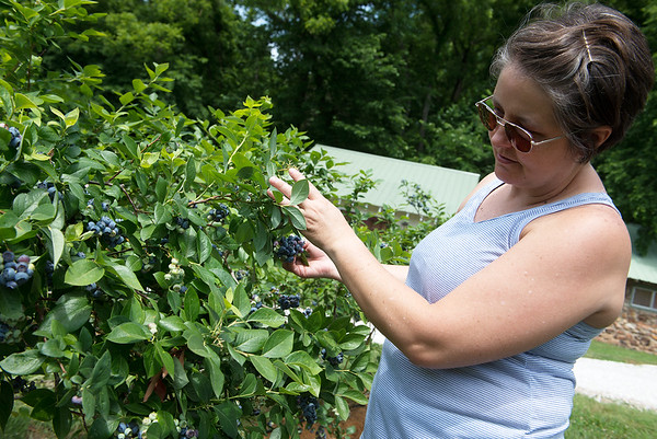 Samantha Warn looks for ripe blueberries on Monday at the Robertson Family Farms.<br /> Globe   Roger Nomer