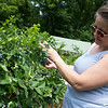 Samantha Warn looks for ripe blueberries on Monday at the Robertson Family Farms.<br /> Globe | Roger Nomer