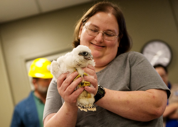 Megan Brown, janitor at La Cygne power plant, holds a peregrine falcon chick on Wednesday.<br /> Globe | Roger Nomer