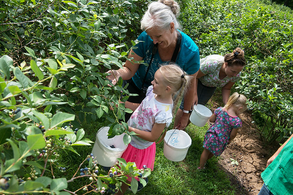 Shona Sammons and her granddaughter Juliet Wooten, 6, left, and Emily Wooten and her daughter Joy, 3, pick blueberries at Robertson Family Farm on Tuesday.<br /> Globe | Roger Nomer