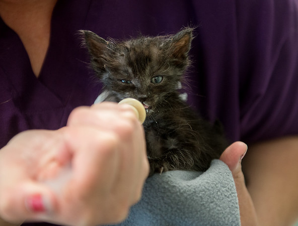 Tianna Fisher, shelter services manager, feeds a kitten at the Joplin Humane Society on Monday.<br /> Globe | Roger Nomer