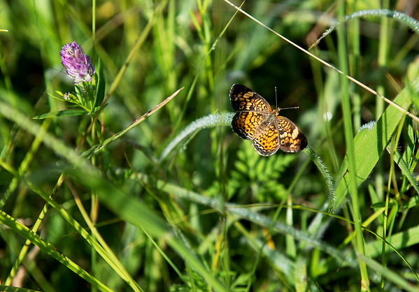 A moth lands on grass at at the Liberty Utilities facility on Kodiak Road on Tuesday.<br /> Globe | Roger Nomer