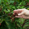 Blackberries ripen for picking at Ray's Farm to Market in Mt. Vernon on Wednesday.<br /> Globe | Roger Nomer