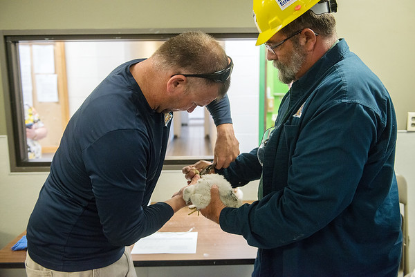 Joe DeBold, urban wildlife biologist with the Department of Natural Resources, left, and Jeff Goin, wildlife crew leader with the department, band a peregrine falcon chick on Wednesday at the La Cygne power plant.<br /> Globe | Roger Nomer