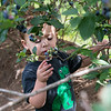 Soren Gunderman, 2, selects a blueberry to sample at Robertson Family Farm on Tuesday.<br /> Globe | Roger Nomer