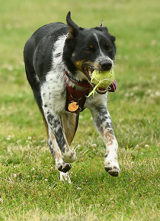 """Eli,"" a blue heeler, plays fetch with the remnants of a tattered tennis ball while romping at the Parr Hill Dog Park on Saturday.<br /> Globe 