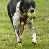 """""""Eli,"""" a blue heeler, plays fetch with the remnants of a tattered tennis ball while romping at the Parr Hill Dog Park on Saturday.<br /> Globe 