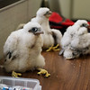 Peregrine falcon chicks await their banding procedure at the La Cygne power plant on Wednesday.<br /> Globe | Roger Nomer